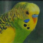 Pastellbild von Eva Jelinek: Wellensittich