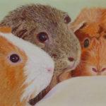 Pastellbild von Eva Jelinek: Meerschweinchen