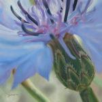 Pastellbild von Eva Jelinek: Kornblume